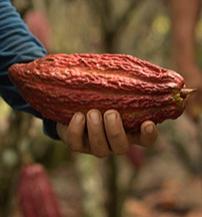 eloszor-tette-kozze-fenntarthato-kakaotermesztesi-tervenek-eredmenyeit-a-mars-harmadik.jpg