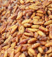 rovarkoktel-es-larvapecsenye-lesznek-a-jovo-etelei-negyedik.jpg