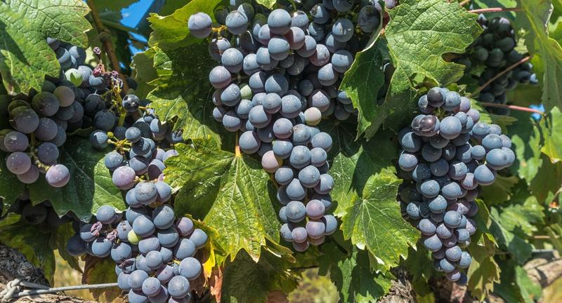 vida-peter-2011ben-az-ev-bortermeloje.jpg